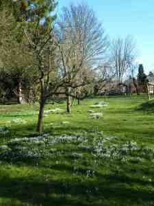 Snowdrops in clusters under the trees